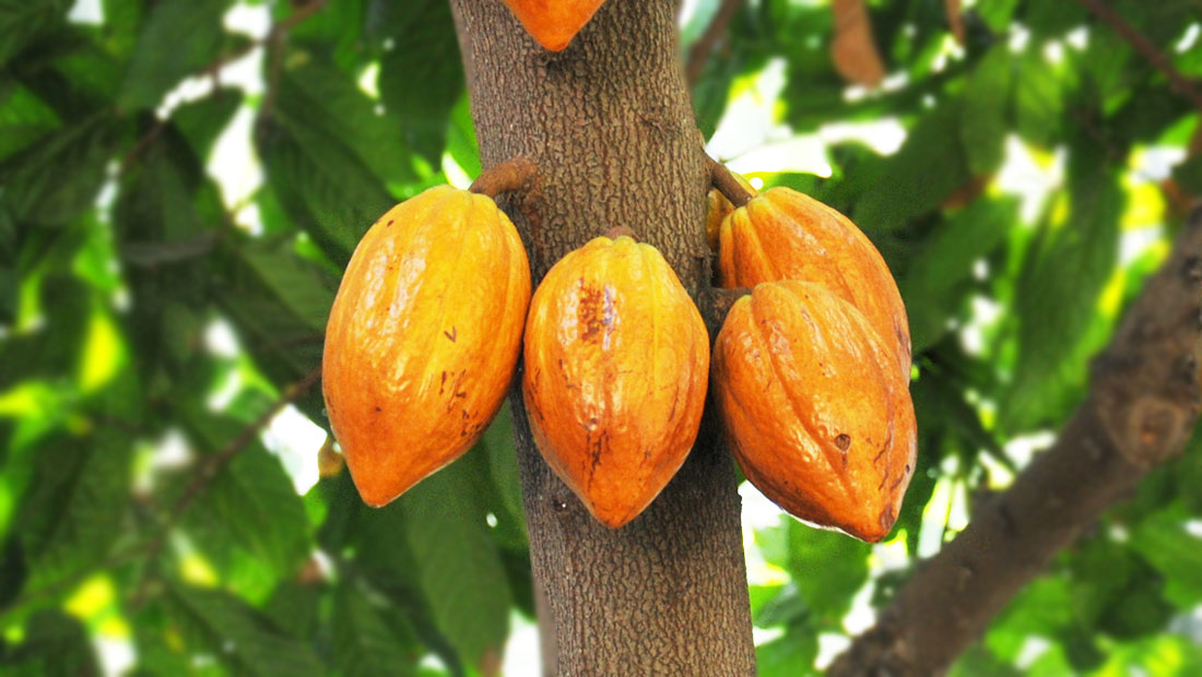 cocoa beans producer