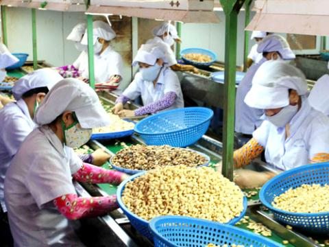 Cashew nut production