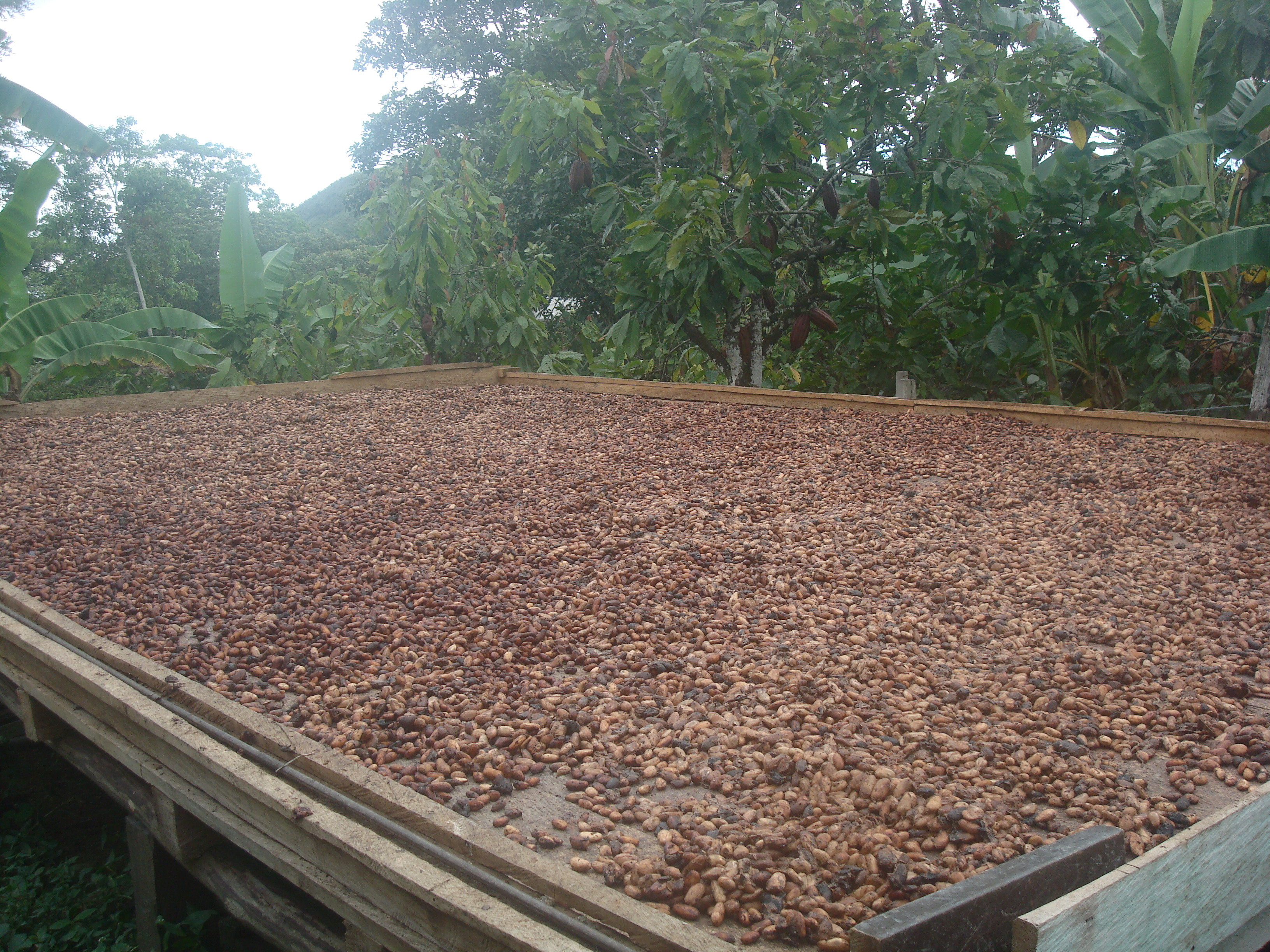 Cocoa beans production Archives