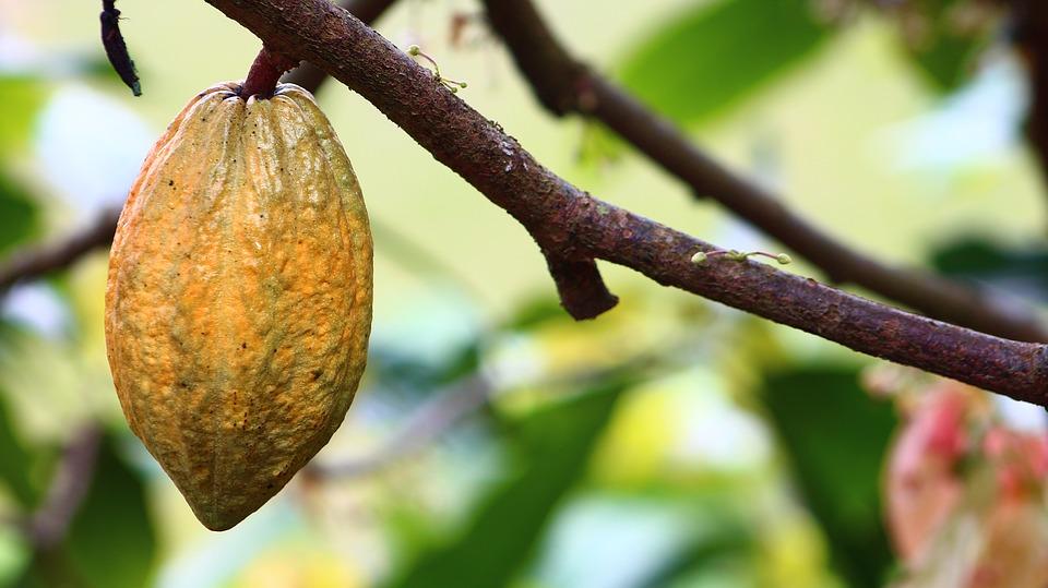 cocoa-bean-benefits